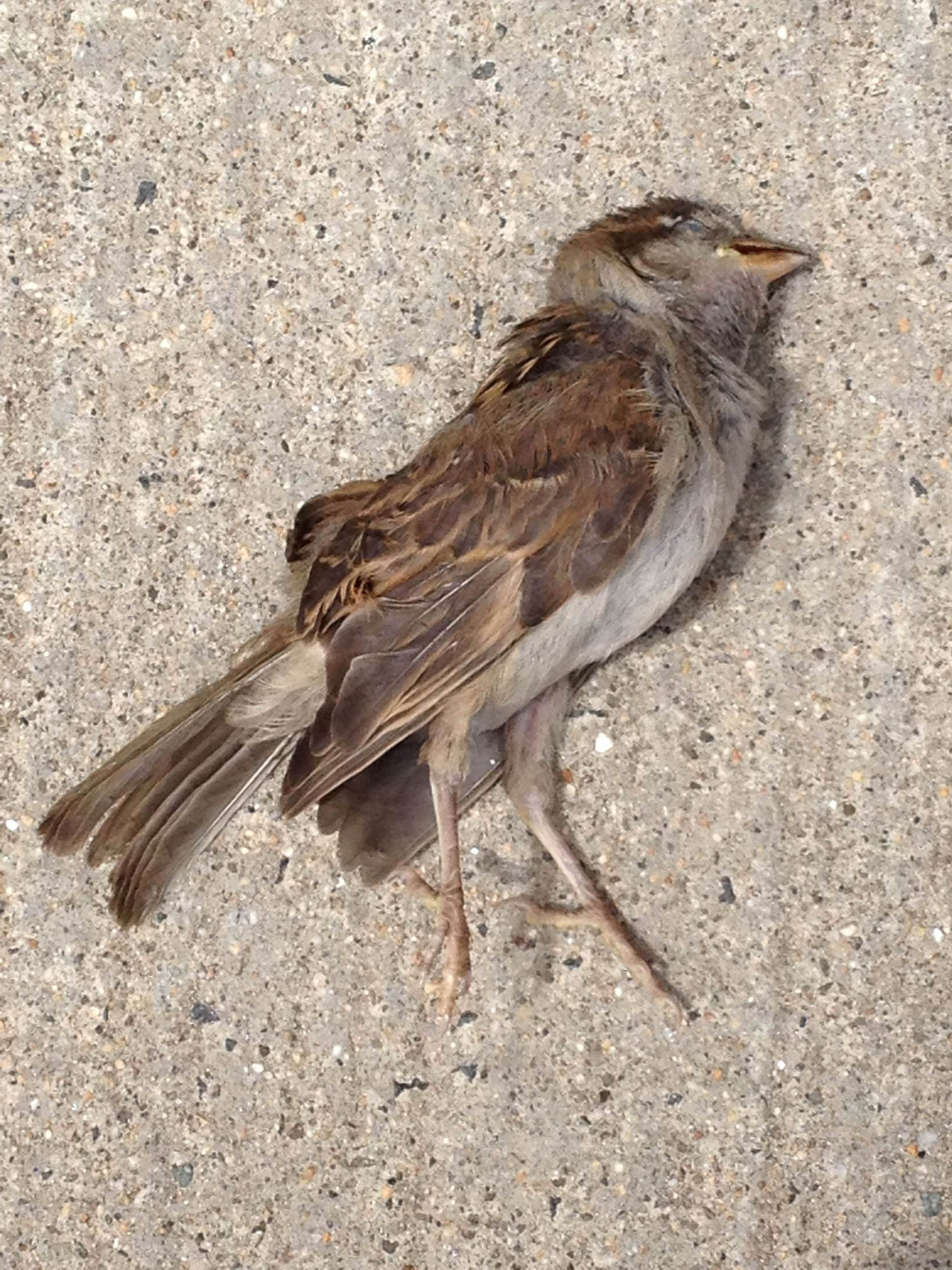 Weigel_Sparrow-web